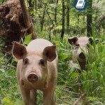 pigs-book
