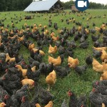 poultry-video
