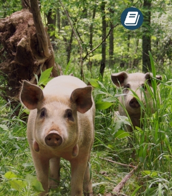 Chapter 22 – Pigs